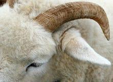 De hoorn van een Ram stock fotografie