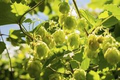 De hop die op Humulus-lupulus groeien plant gebladerte backlit door de zon Selectieve nadruk royalty-vrije stock foto's