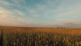 De horizon van het korrelgebied met wolken in de blauwe hemel stock videobeelden