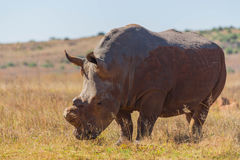 De-horned rhino in the wild Royalty Free Stock Photography