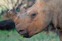 De-horned white rhino head Stock Image