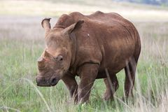 De-horned White Rhino Royalty Free Stock Photography