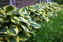 De Hosta` Patriot ` groeit in de tuin in de zomer royalty-vrije stock afbeeldingen