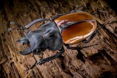 De houten achtergrond van Odontolabisgazella Royalty-vrije Stock Foto
