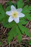 De houten anemoon is de vroeg-lente bloeiende installatie stock afbeelding