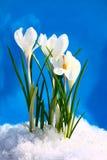 De houten bloem van de lente op een donkerblauwe achtergrond met Stock Foto
