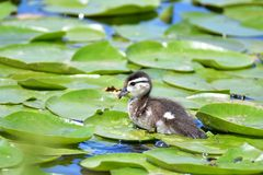 De houten eendkuikens nemen zwemmen onder de leliestootkussens in het meer stock fotografie