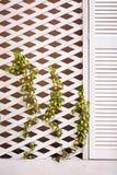 De houten muur van de latwerkvoorgevel met jonge wevende klimopinstallatie Stock Foto