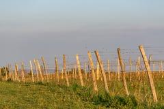 De houten polen met uitgerekte metaaldraad steunen de wijngaard Jonge bladeren op een oude Franse die wijnstok door licht wordt a royalty-vrije stock foto's