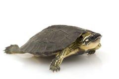 De Houten Schildpad van Maracaïbo royalty-vrije stock foto