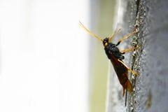 De houten wesp van Urocerusgigas horntail Royalty-vrije Stock Afbeelding