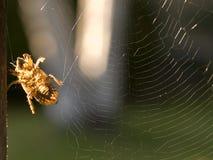 De Huid van de cicade in een Web Stock Foto
