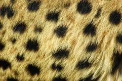 De huid van de jachtluipaard stock afbeeldingen