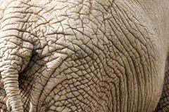 De huid van de olifant Stock Foto's