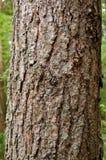 De huid van de pijnboom Stock Foto's