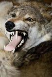 De huid van de wolf op de vloer Stock Afbeelding