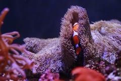 De huiden van Nemo van Amphiprioninae in koraal Stock Afbeeldingen