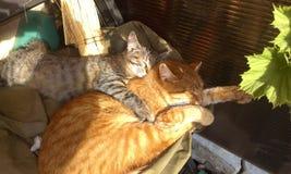 De huisdieren van de het katjesliefde van dierenkatten royalty-vrije stock foto's