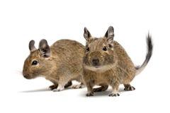 De huisdieren van Degu Royalty-vrije Stock Afbeeldingen