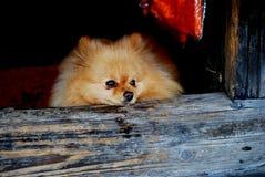 De huisdierenhond Stock Foto's