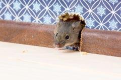 De huismuis (Mus-musculus) krijgt in de ruimte door een gat Stock Afbeeldingen