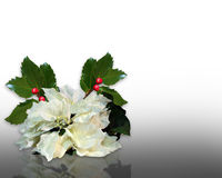 De Hulst van Kerstmis en witte poinsettia Royalty-vrije Stock Foto's