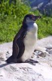 De Humboldt-pinguïn is een flightless vogelbek Chili Peru Stock Foto's