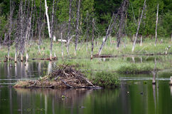 De Hut van de bever op een vijver in Alaska Royalty-vrije Stock Afbeeldingen
