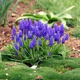De hyacint en het mos van de druif Royalty-vrije Stock Afbeeldingen