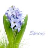 De hyacint van Bllue die op wit wordt geïsoleerda Stock Foto's