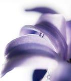 De hyacint van de bloem Royalty-vrije Stock Afbeeldingen