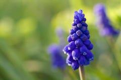 De hyacint van de druif stock afbeeldingen