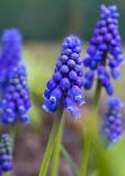 De Hyacint van de druif Royalty-vrije Stock Afbeeldingen
