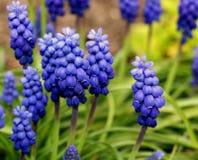 De hyacint van de druif Royalty-vrije Stock Fotografie
