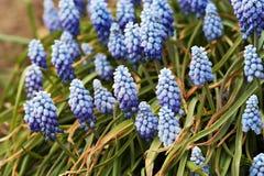 De hyacint van de druif stock afbeelding