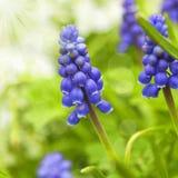 De Hyacint van de druif Stock Foto's