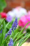 De hyacint van de druif in de lente Stock Fotografie