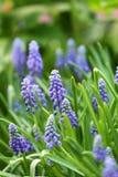 De hyacint van de druif in de lente Royalty-vrije Stock Foto