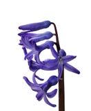 De hyacint van de tuin Stock Foto's