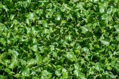 De hyacint van het menigtewater in een vijver Stock Afbeeldingen