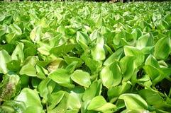 De hyacint van het water Stock Afbeeldingen