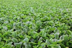 De hyacint van het water Stock Fotografie