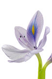 De Hyacint van het water Royalty-vrije Stock Afbeelding