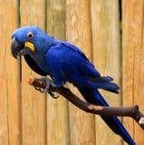 De hyacintara (blauwe papegaai) zit op een boomtak Stock Foto's