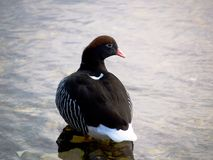 De hybridahaven Stanley, Falkland Islands van Chloephaga van de Kelpgans Royalty-vrije Stock Afbeeldingen