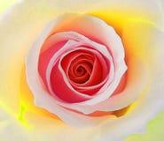 De hybride bicolourthee nam in de zomerbloei toe royalty-vrije stock afbeeldingen
