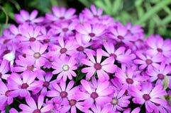 De hybride bloem van Osteospermum Stock Afbeelding