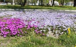 De Hybride Impatiens bloemen van Nieuw-Guinea royalty-vrije stock afbeelding