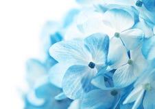 De hydrangea hortensia bloeit Achtergrond Stock Foto's