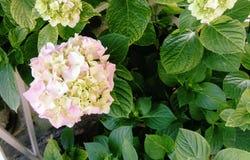 De hydrangea hortensia is een de lentebloem stock afbeeldingen
